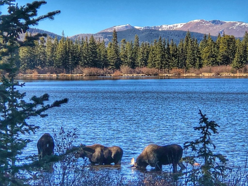 Image of blue lake with three moose drinking with pine trees and snowcapped mountains in background